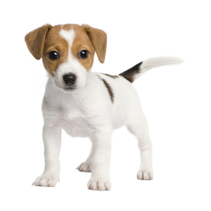 Leading Paws | Beagle Puppy